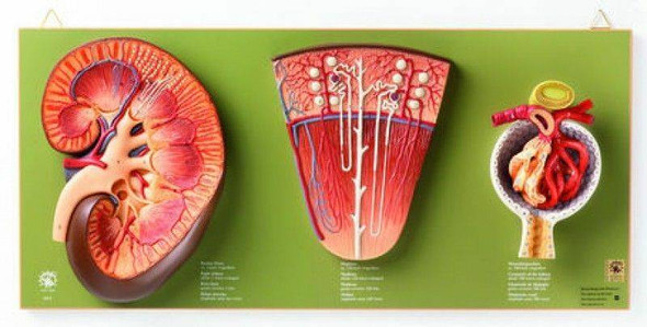 SOMSO Kidney, Nephron and Glomerulus