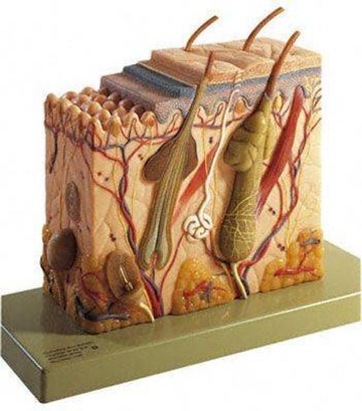 SOMSO Block Model of the Skin