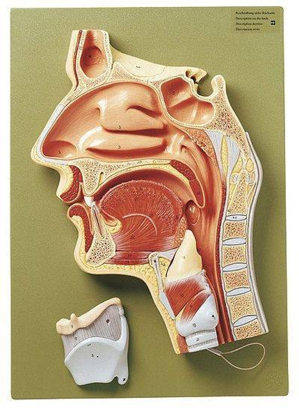 SOMSO Median Section of the Cavities of Nose, Mouth and Throat