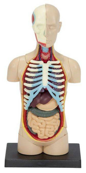 Human Torso Anatomy Model