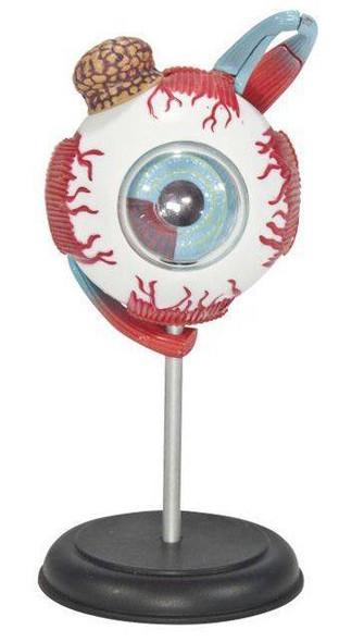 Human Eyeball Anatomy Model