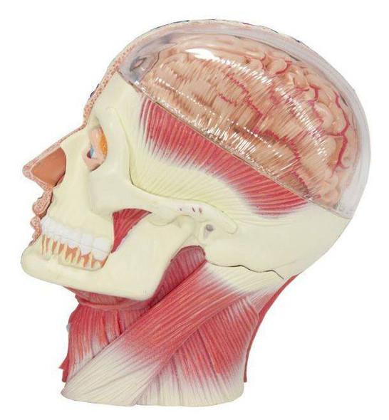 Human Head Anatomy Model 1