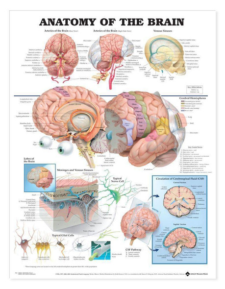 Anatomy Of The Brain Laminated Anatomical Chart