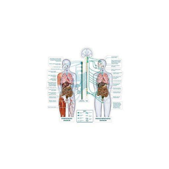 Autonomic Nervous System Anatomy Dry-Erase Sticky Wall Chart - 54 in x 40 in