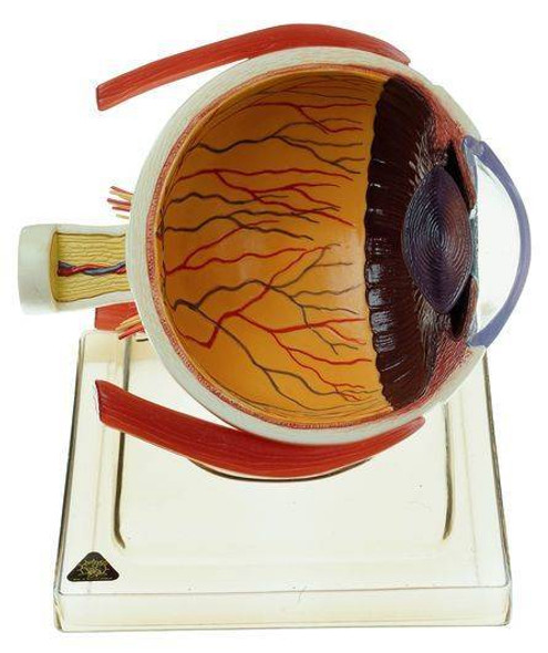 SOMSO 6x Life Size Right Half of the Human Eye Anatomy Model