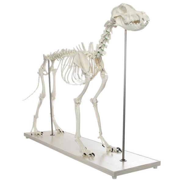 Axis Scientific Large Canine - Flexible Articulation on Base