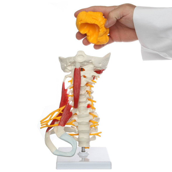 Axis Scientific Cervical Spine with Occipital Bone, Nerves, and Muscles Anatomy Model 1