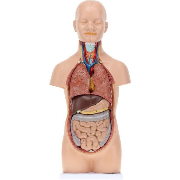 Axis Scientific 12-Part Unisex Mini Torso