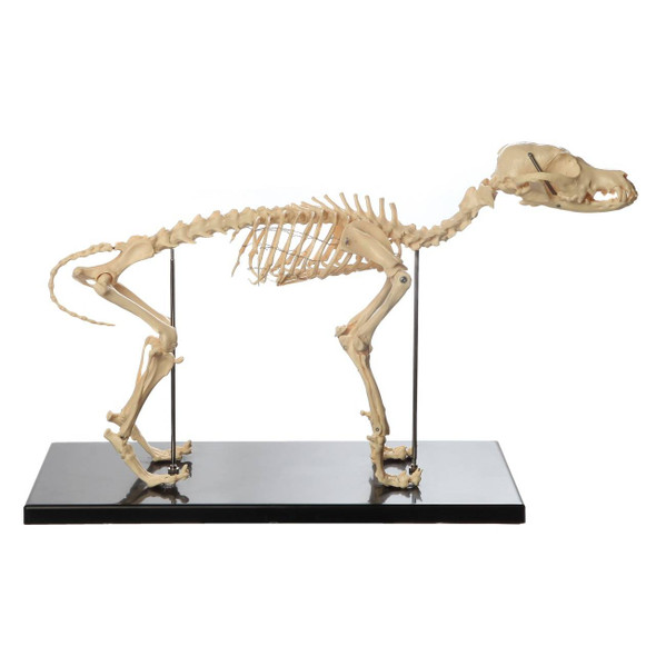 Anatomy Lab Canine Skeleton - Fixed Articulation on Base 1