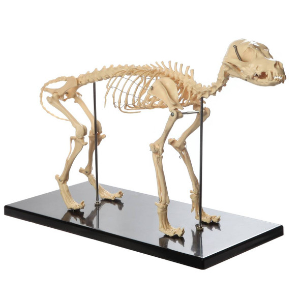 Anatomy Lab Canine Skeleton - Fixed Articulation on Base