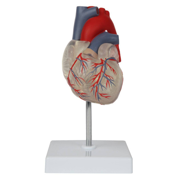 Axis Scientific Deluxe Life-Size 2-Part Transparent Human Heart Anatomy Model Product Overview