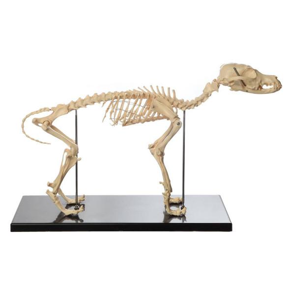 Anatomy Lab Canine and Feline Skeleton Anatomy Model Kit 1