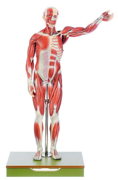 SOMSO 27-Part Half Life-Size Male Musculature Figure
