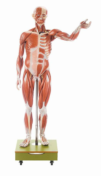 SOMSO 36-Part Male Musculature Figure