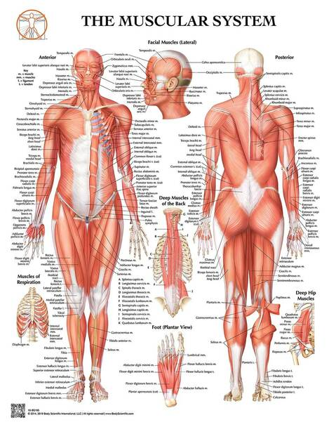 Anatomy of the Muscular System Laminated Wall Chart with Digital Download Code