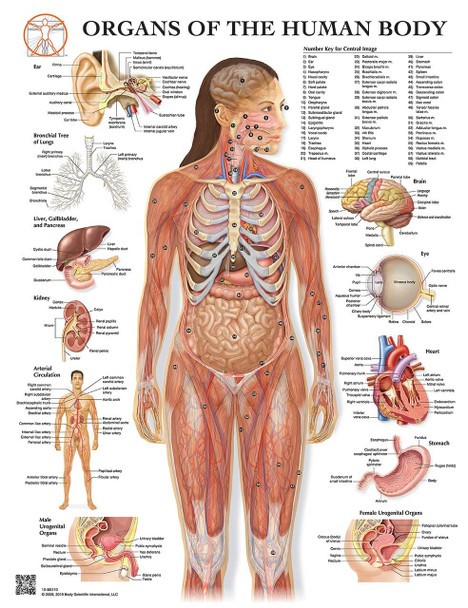 Organs of the Human Body Laminated Anatomical Wall Chart with Digital Download Code