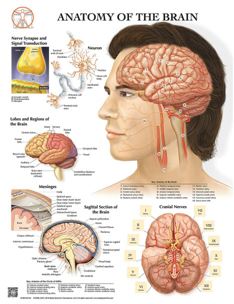 Anatomy of the Brain Laminated Wall Chart with Digital Download Code
