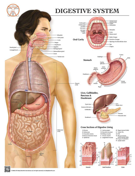 Anatomy of the Digestive System Laminated Wall Chart with Digital Download Code