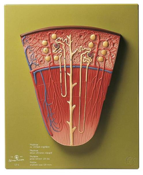 SOMSO Enlarged Nephron Anatomy Model