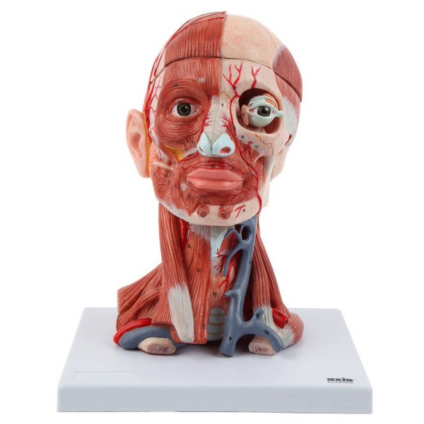 Axis Scientific Head and Neck Muscle Model
