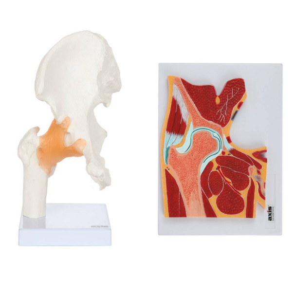 Axis Scientific Functional Hip Joint and Cross Section Anatomy Model Set