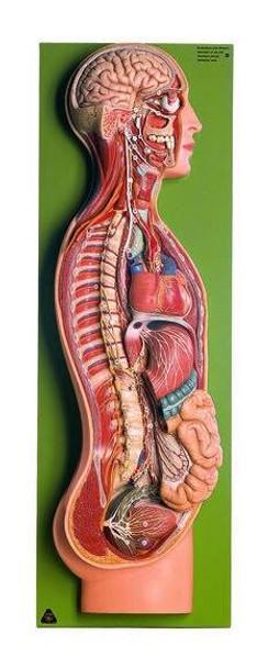SOMSO Sympathetic Nervous System