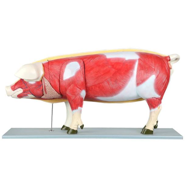 Anatomy Lab Domestic Pig Sus scrofa domesticus Anatomy Model
