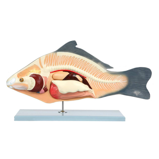 Anatomy Lab Carp Fish Cyprinus carpio Anatomy Model