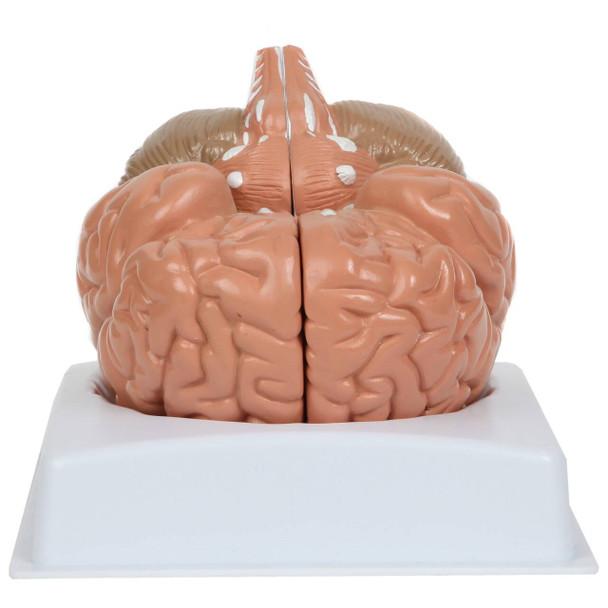 Anatomy Lab Basic 2-Part Brain Model Anatomy Model