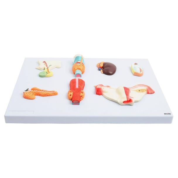 Axis Scientific Complete Endocrine Gland Set Anatomy Model