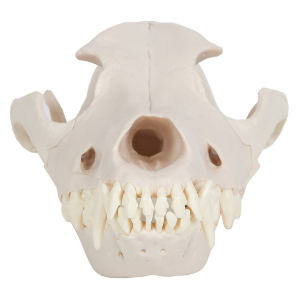 Axis Scientific Canine Skull with Articulating Jaw