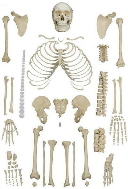 Rudiger Anatomie Premium Complete Disarticulated Female Skeleton