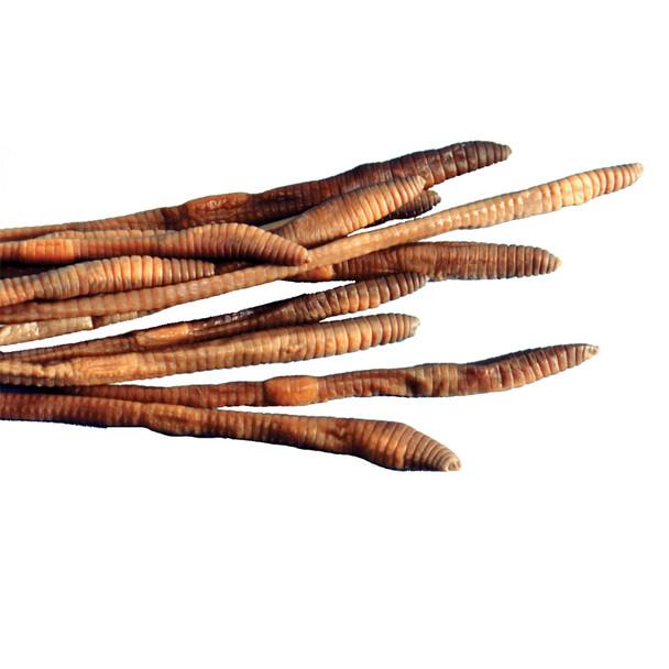 Anatomy Lab Earthworm Specimen, 8-10 Inches, Vacuum Packed