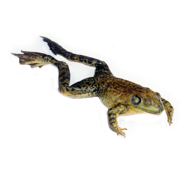 Anatomy Lab Bullfrog Specimen, 5-6 Inches, Vacuum Packed