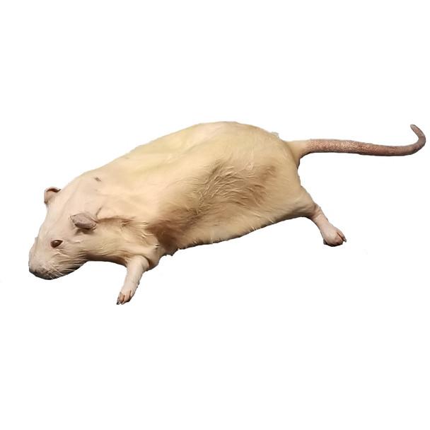 Anatomy Lab Rat Specimen, 7-9 Inches, Vacuum Packed