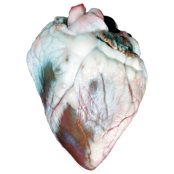 Anatomy Lab Sheep Heart Specimen, Vacuum Packed, Preserved Specimen for Dissection