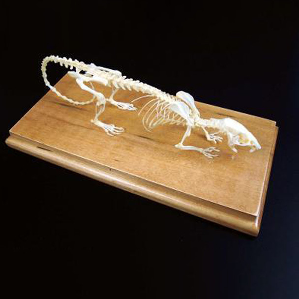 Anatomy Lab Rat (Rattus norvegicus) Real Bone Articulated Skeleton, Mounted with Cover