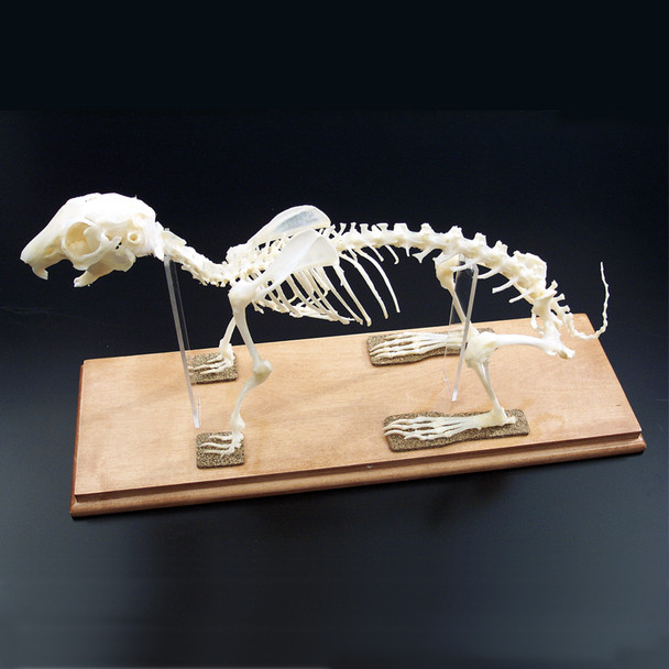 Anatomy Lab Rabbit (Oryctolagus cuniculus) Real Bone Articulated Skeleton, Mounted with Cover