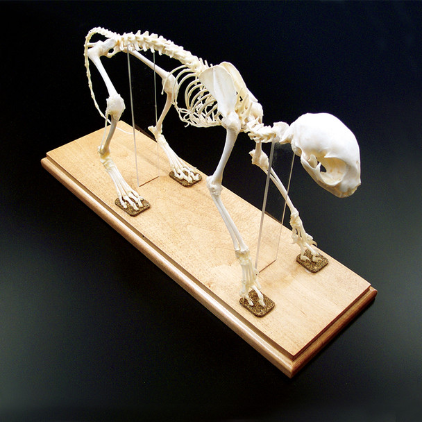 Anatomy Lab Cat (Felis catus) Real Bone Articulated Skeleton, Mounted with Cover