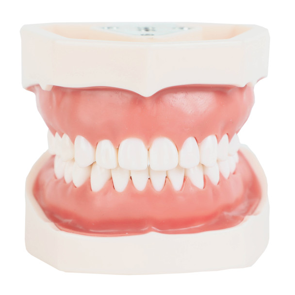 Axis Scientific Dental Typodont Model Front View, Mouth Closed