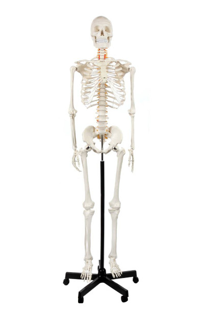 Axis Scientific Classic Human Skeleton with Study and Numbering Guide