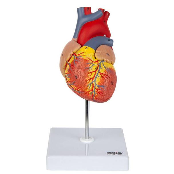 Axis Scientific 2-Part Deluxe Life-Size Human Heart Model
