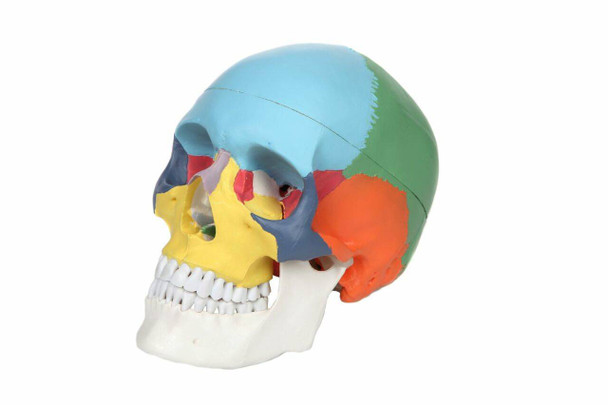 Axis Scientific 3-Part Life-Size Didactic Human Skull Anatomy Model Overview