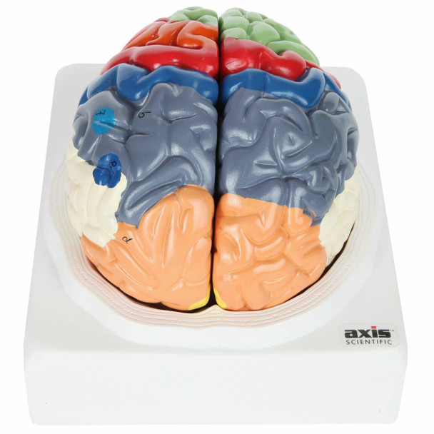 Axis Scientific Life-Size Regional 2-Part Human Brain