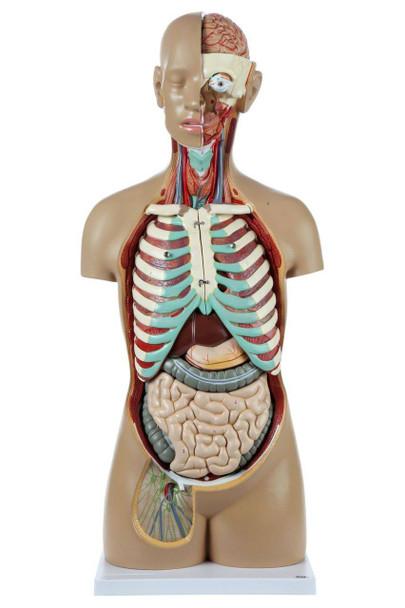 Axis Scientific 18-Part Premium Unisex Life-Size Torso with Open Back