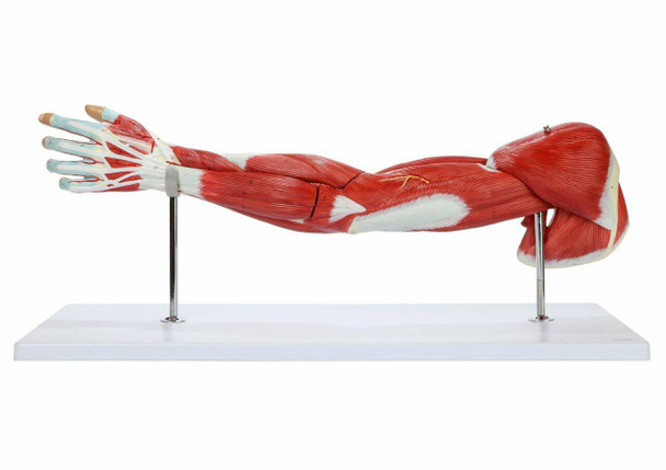 Axis Scientific Life-Size 7-Part Human Muscular Arm with Detachable Muscles Anatomy Model Overview