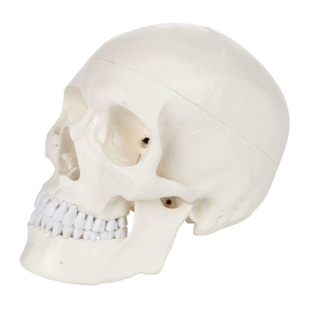 Axis Scientific 3-Part Life-Size Human Skull