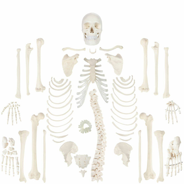 Axis Scientific Complete Disarticulated Human Skeleton