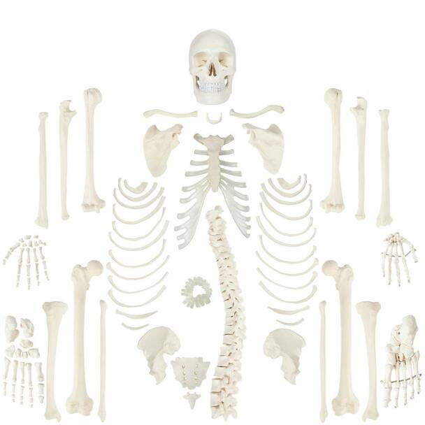 Axis Scientific Complete Disarticulated Human Skeleton complete anatomy view