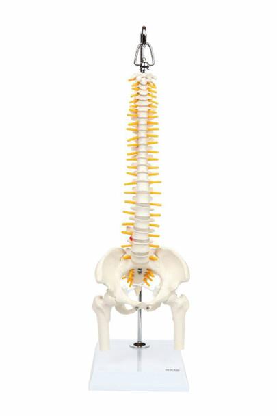 Axis Scientific Miniature Vertebral Column